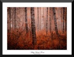 Misty-Birch-Forest-South-East-Poland